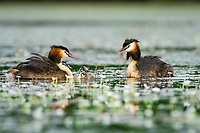 Two great crested grebe, Podiceps cristatus, in a swamp, Dombes, Ain, France