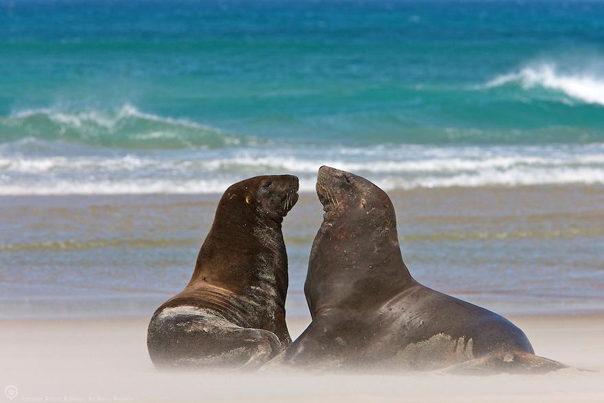 Two Hooker's Sea Lion enjoy the beach in New Zealand