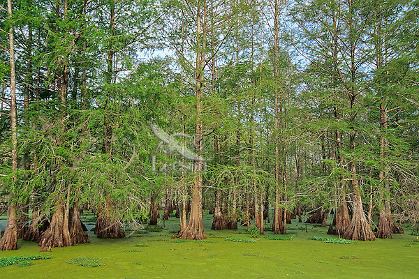 Baldcypress swamp (water covered mostly by duckweed), Atchafalaya Basin, Louisiana.  April.<br />