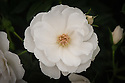 Rosa Sheer Silk ('Harpatter'), a compact, pure white rose from Harkness Roses.
