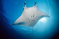 reef manta ray, Manta alfredi, Maldives Islands, Indian ocean, Ari Atoll, Atol, Madivaru