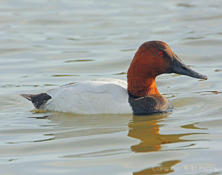 Male canvasback in breeding plumage