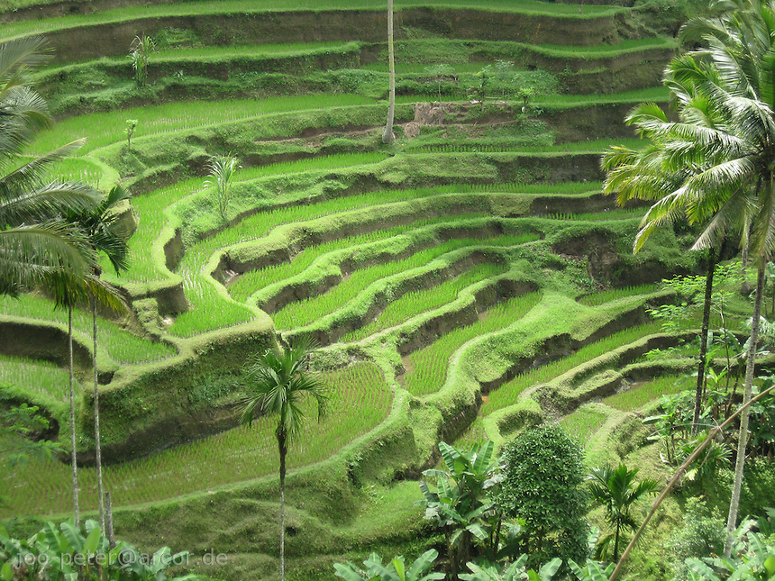 rice fields close to village Tegalalang, Bali, archipelago Indonesia