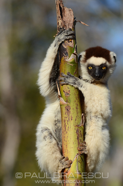 Verreaux's Sifaka (Propithecus verreauxi) Lemur of the Spiny Forest of Berenti Madagascar.