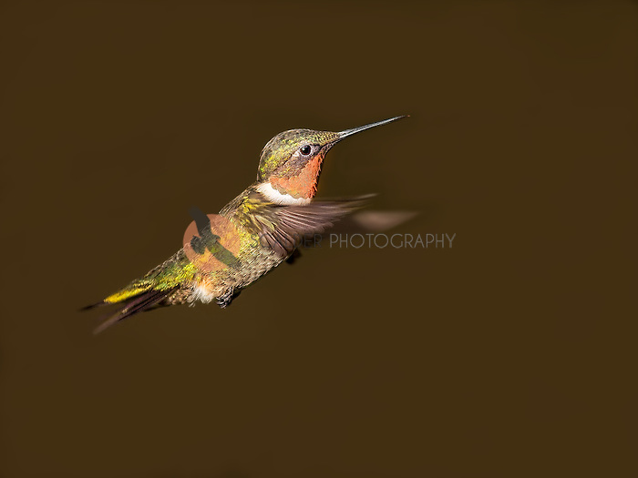 Male Ruby-Throated Hummingbird in flight with wings forward