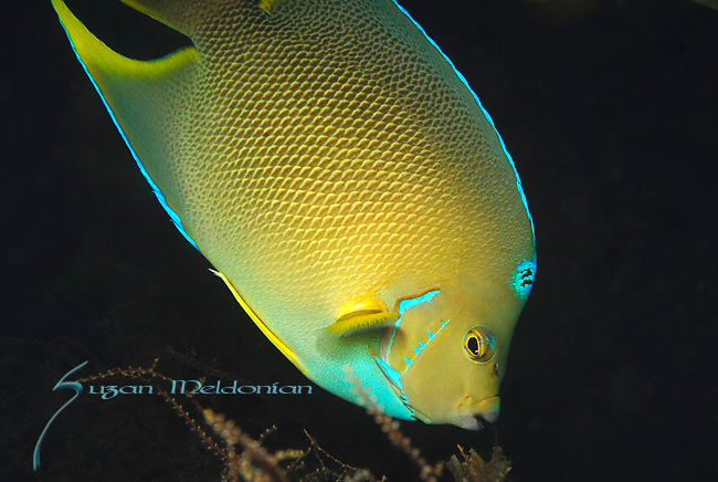 Hybrid Angel Fish, Blue angel and Queen angelfish. Unable to reproduce.Holacanthus cilians x holicanthusbermudensis
