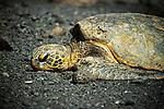 HAWAII - a sea turtle at Black Sand Beach.