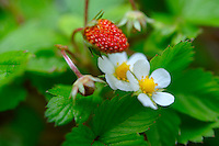 Fresh wild strawberries with flowers