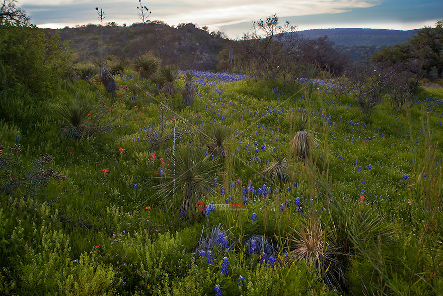 Bluebonnets in Hill Country, Willow City Loop Road, Texas Hill Country