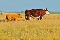 Cattle. Hereford<br /> Hodgeville<br /> Saskatchewan<br /> Canada