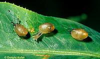 1Y08-114z  Land Snail - young west coast snails - Helix aspersa