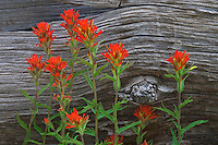 Ochoco National Forest, OR<br /> Desert paintbrush (Castilleja chromosa) and weathered log at Big Summit Prairie