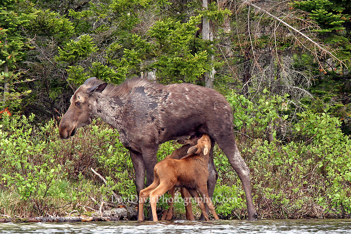 #M28 Cow Moose Nursing Twin Calves