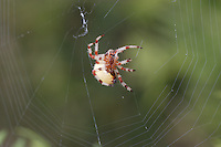 Shamrock Orbweaver (Araneus trifolium) spinning its web,  Ward Pound Ridge Reservation, Cross River, Westchester County, New York