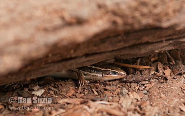 Skilton's skink (Western skink), Eumeces skiltonianus skiltonianus. Mendocino County, California.