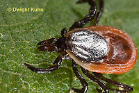 MI03-513z  Adult Blacklegged Tick or Deer Tick, close-up of head and mouth, Ixodes scapularis.