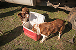 Late winter calf marking, branding and doctoring at the hilltop corral above the Busi Ranch in the Sierra Nevada Foothills of Amador County, Calif...Two cow dogs drink from an ice chest
