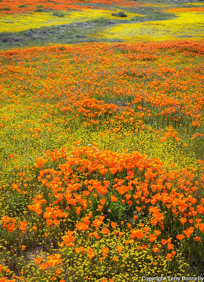 Mojave Desert, Antelope Valley, California:<br /> Rolling hills of spring wildflowers, California poppies (Eschscholzia californica), California coreopsis (Coreopsis californica) blooming near the Antelope Valley Poppy Reserve