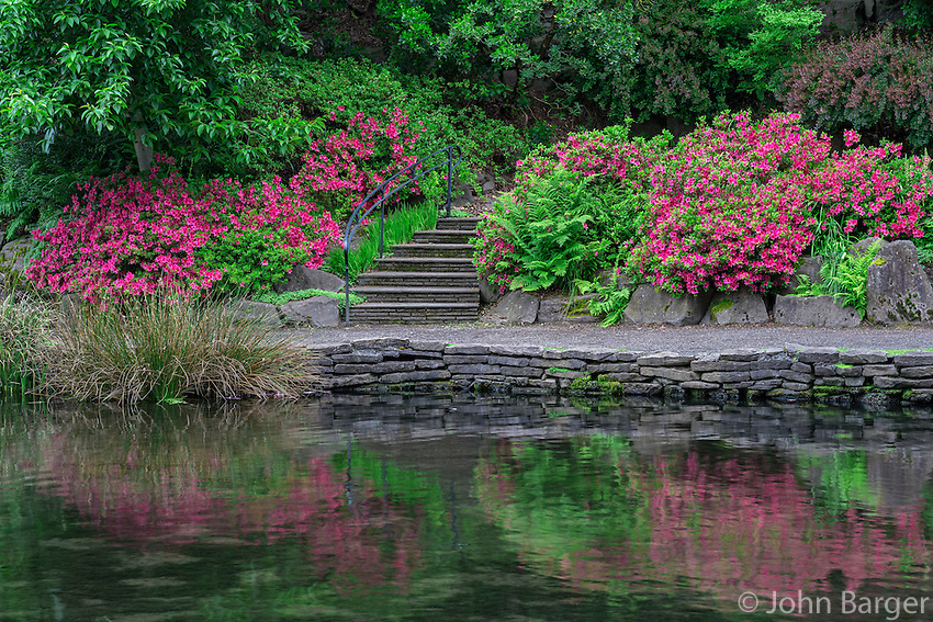 USA, Oregon, Portland, Crystal Springs Rhododendron Garden, Blooming azaleas and ferns along walkway above Crystal Springs Lake.