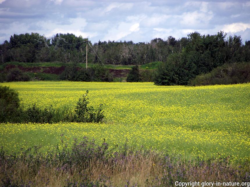 Canola fields looking full in the fields near St. Albert, Alberta.