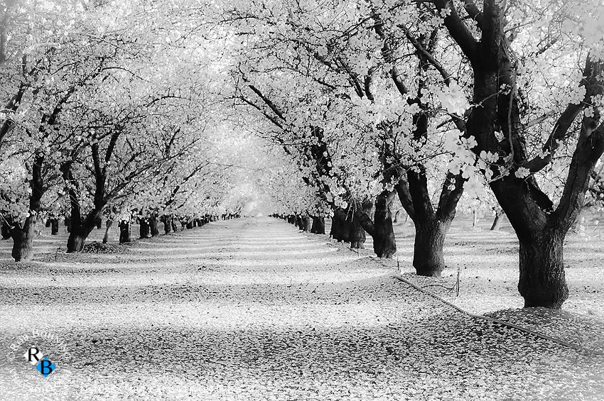 A dreamy scene in Stanislaus County.. the intoxicating sight and scent of almond blossoms in full bloom creates a special aroma and scene in the valley each spring