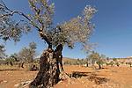 Samaria, Olive tree (Olea europaea) in Yanun..