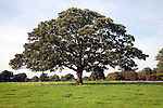 Sycamore tree in grassy field, Shottisham, Suffolk, England