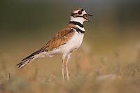 Killdeer, Charadrius vociferus, adult calling, Willacy County, Rio Grande Valley, Texas, USA