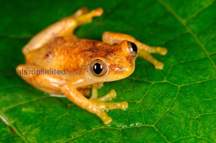 Hyperolid Frog (Afrixalus laevis), Kahuzi-Biega National Park, Democratic Republic of Congo