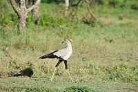 Secretary Bird, Serengeti National Park, Tanzania, East Africa