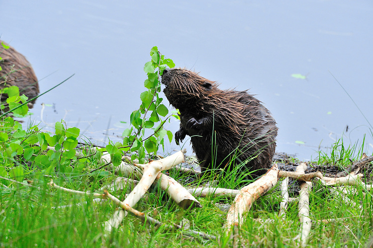 European Beaver Castor fiber Length 120-150cm including tail. Large, aquatic rodent with proportionately large head, water-repellent fur and broad, paddle-like tail used for swimming. Once hunted (for fur) close to extinction across its temperate European range. Now re-introduced in places and recovering.