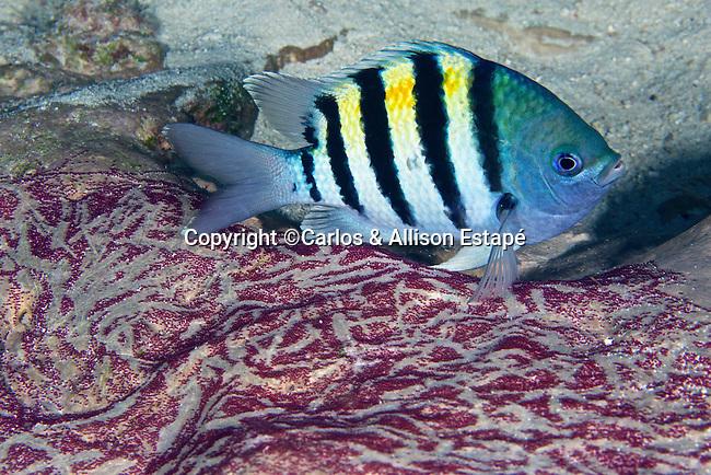 Abudefduf saxatilis, Sergeant major, Florida Keys