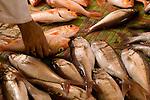 Fish Market in Mattra, Muscat, Oman.