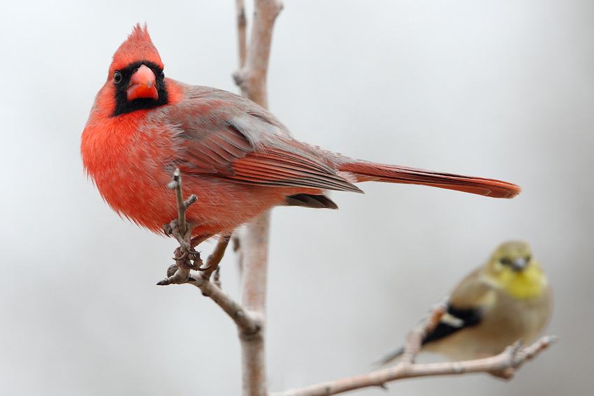 Northern Cardinal and Goldfinch in Winter.