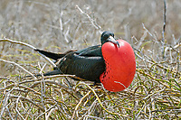 Great Frigatebird (Fregata minor), courting male with inflated throat pouch, North Seymour Island, Galapagos Province, Galapagos, Ecuador, South America