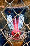 Animais. Mamiferos. Primatas. Macacos Mandril ( Mandrillus sphinx). Foto de Luciana Whitaker.
