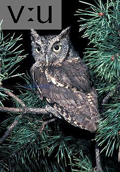 Eastern Screech Owl, gray phase