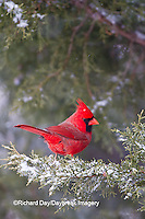 01530-20811 Northern Cardinal (Cardinalis cardinalis) male in Keteleeri Juniper tree (Juniperus chinensis 'Keteleeri')  in winter, Marion Co., IL