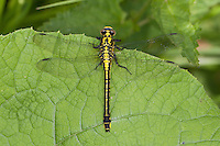 Gemeine Keiljungfer, Gomphus vulgatissimus, club-tailed dragonfly, Common Clubtail, Common Club-tail, Flußjungfer, Flussjungfer, Gomphidae