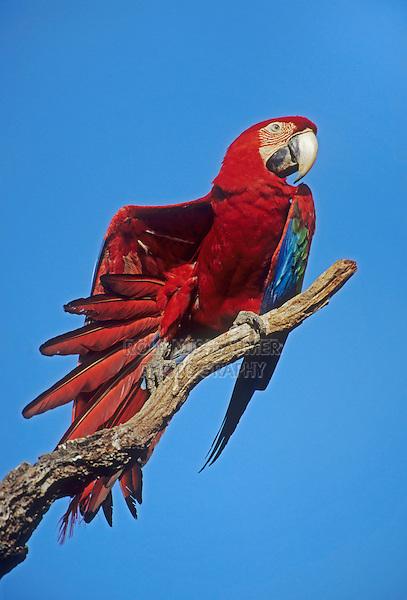 Scarlet Macaw (Ara macao), adult preening, Pantanal, Brazil, South America