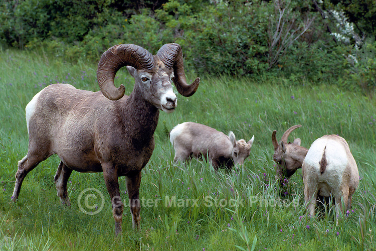 Rocky Mountain Bighorn Sheep Family - Ram, Ewe, and Lamb (Ovis canadensis) grazing in Meadow, Jasper National Park, Canadian Rockies, AB, Alberta, Canada