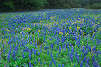 Texas Bluebonnet Texas Squaw-Weed, Natalia, Medina County,Texas, USA