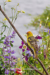 Western Tanager and Columbine