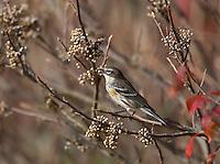 Yellow-rumped Warbler; Setophaga coronata; eating  poison ivy;  NJ, Forsythe NWR