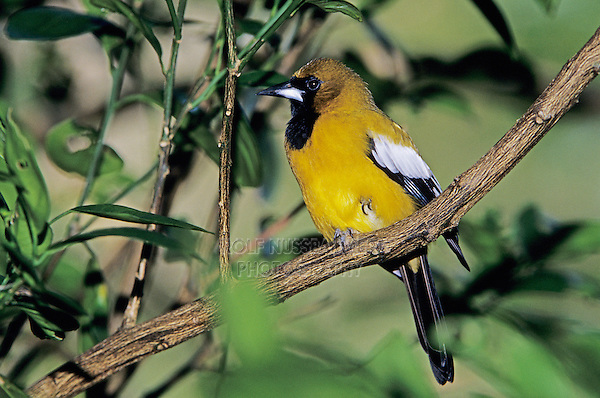 Jamaican Oriole, Icterus leucopteryx,adult on branch, Rocklands, Montego Bay, Jamaica, Caribbean