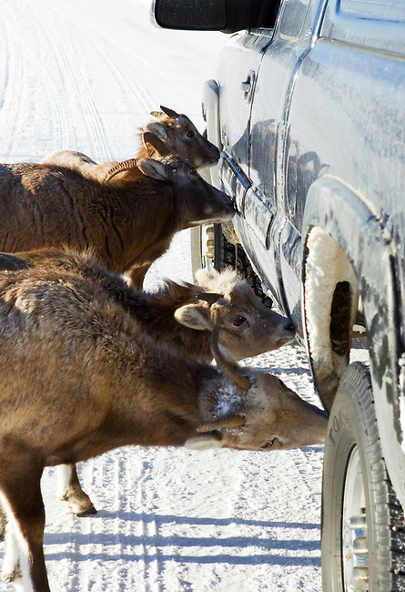 Bighorn sheep eat the salt off my truck in Jasper National Park, Alberta, Canada, February 2011.  Photo by Gus Curtis