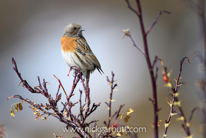 Adult Robin Accentor (Prunella rubeculoides) perched in low bush. Ulley Valley, Ladakh, India.