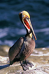 Portrait of a brown pelican  in the La Jolla cove.