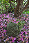 Seattle, WA<br /> Kubota Garden city park, fallen pink petals cover the ground beneath the rhododendron canopy