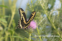 03017-01403 Giant Swallowtail (Papilio cresphontes) on Bull Thistle (Cirsium vulgare) Marion Co. IL